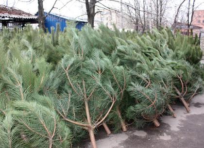 Пенза станет основным поставщиком хвойных деревьев на симферопольские ёлочные базары